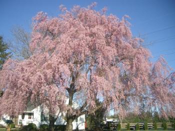 桜2007-1