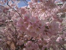 桜2007-3