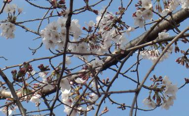 我が町の桜開花状況b