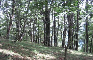 台高山脈のブナ林