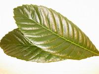びわの葉 びわ灸 枇杷灸