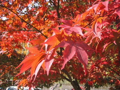 奥多摩湖紅葉