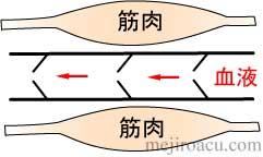 筋肉ポンプ 図解2
