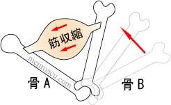 筋肉ポンプ 図解4