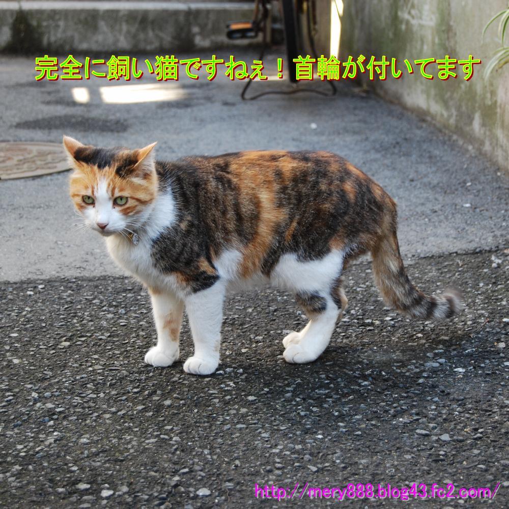 江ノ島飼い猫001
