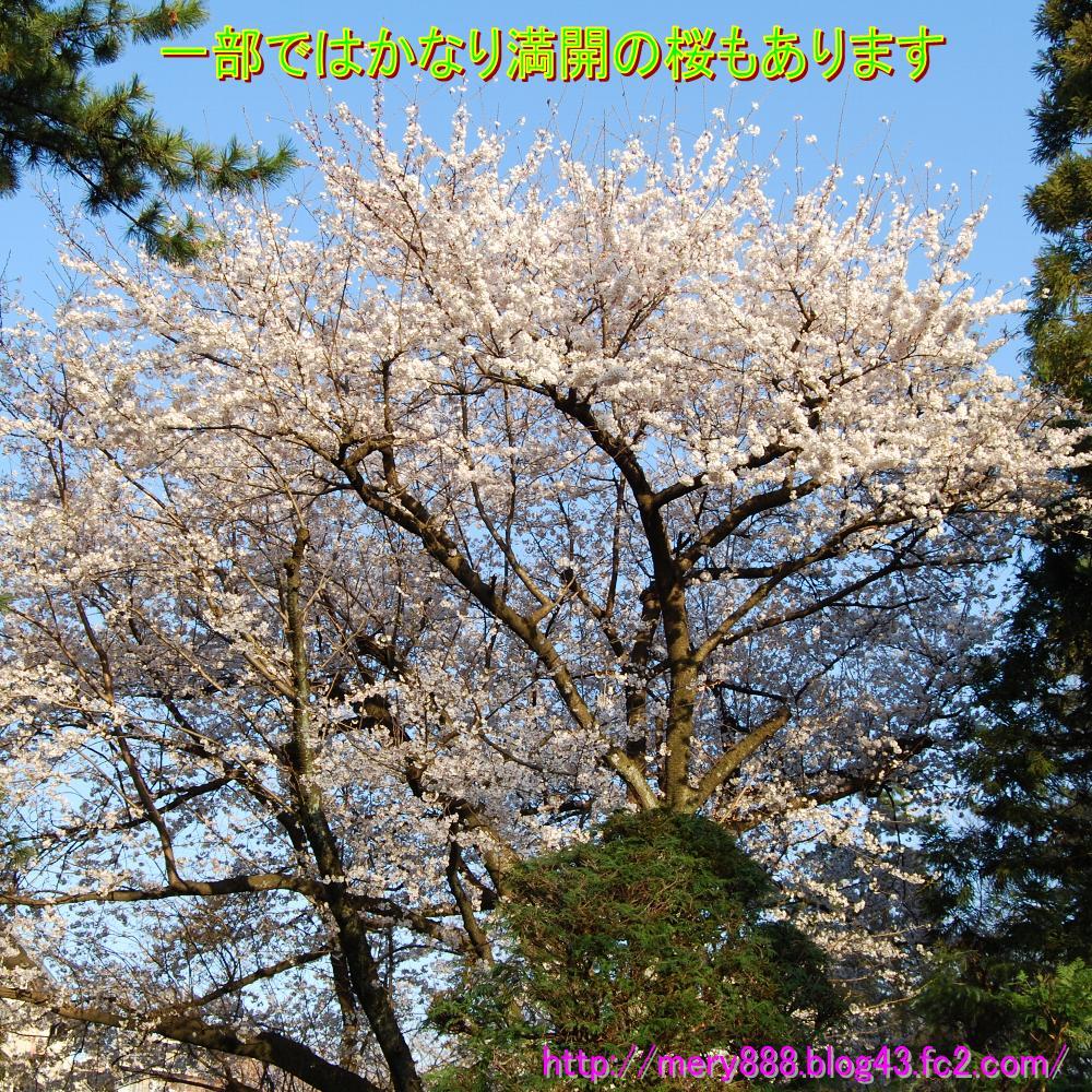 桜0003