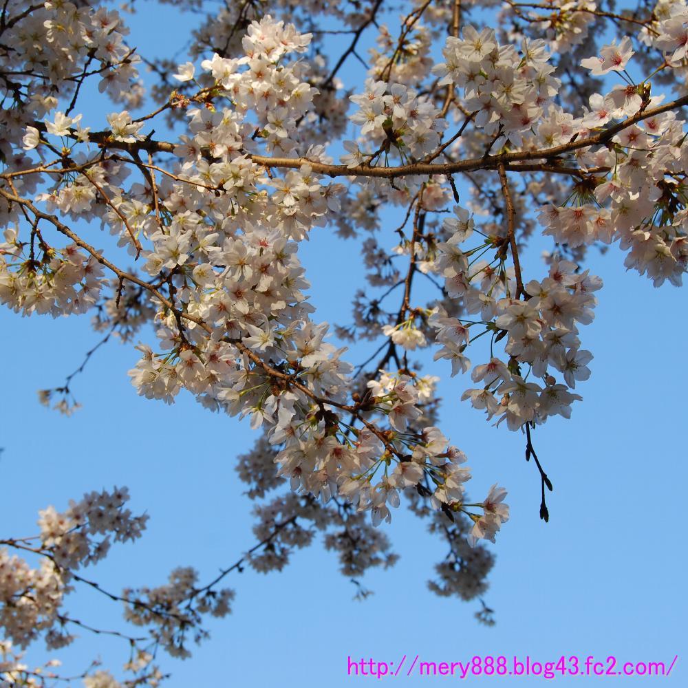 桜0005
