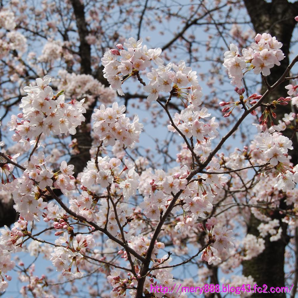 2009常盤平桜祭り002