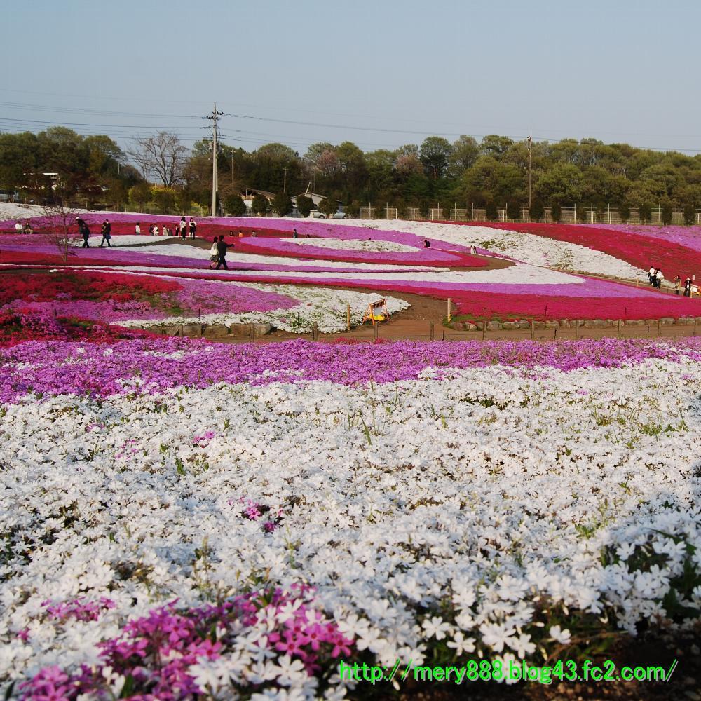 芝桜2009_002