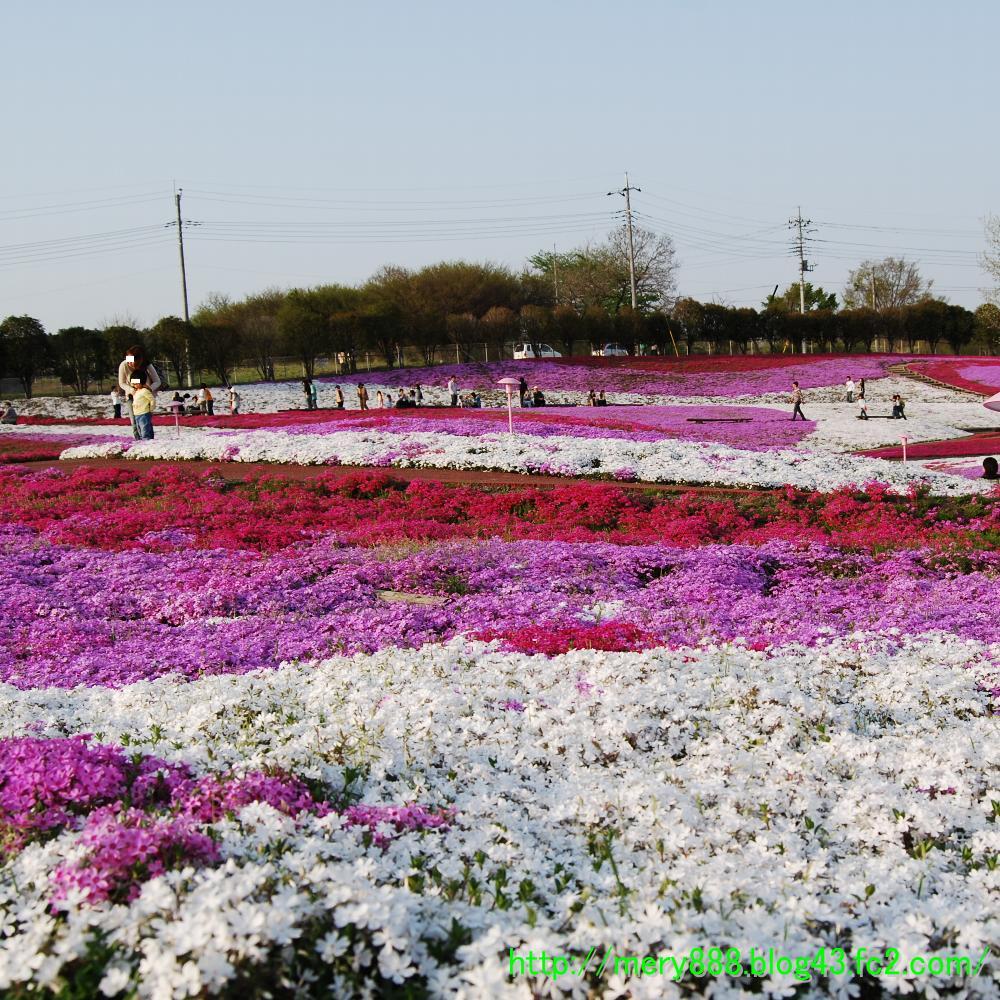 芝桜2009_004