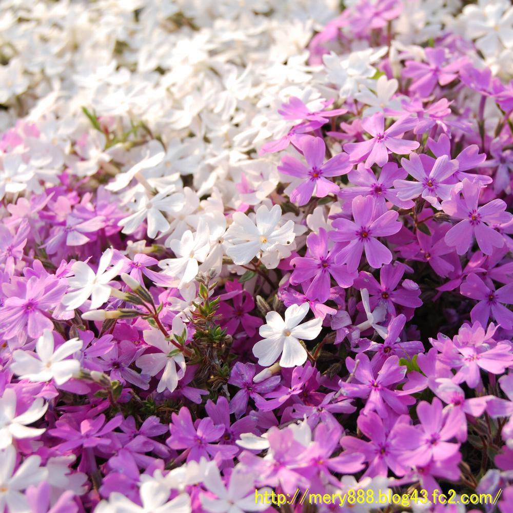 芝桜2009_005