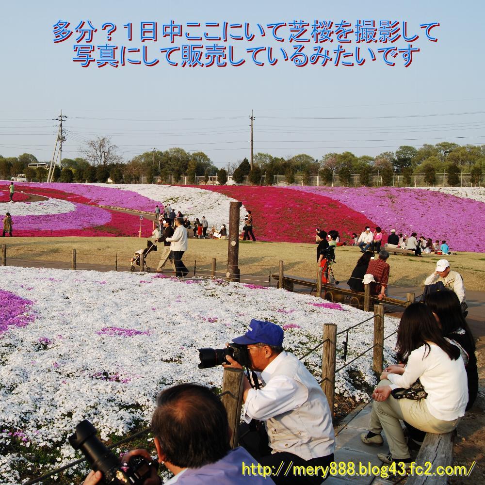 芝桜2009_100