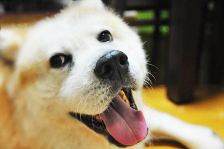 秋田犬をシャンプーするの巻き。