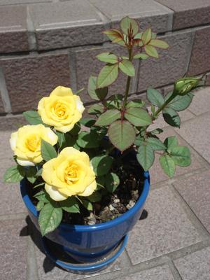 バラの季節3