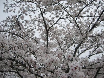 桜ひき縮小ph