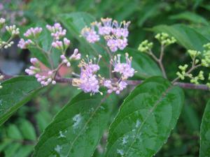 雨の紫式部縮小ph