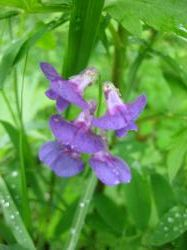北海道紫野の花縮小ph