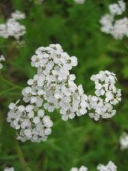 北海道白野の花縮小ph