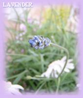P417-lavenders.jpg