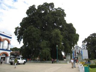 トゥーレの巨木