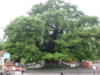 エル・アウエウエテの巨木
