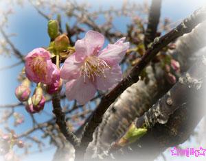 桜なんとか…咲きました(笑)