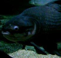 ぶちゃいく魚