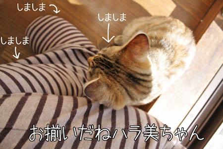 シマシマ1