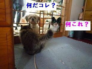 仔猫生後65日 (2)