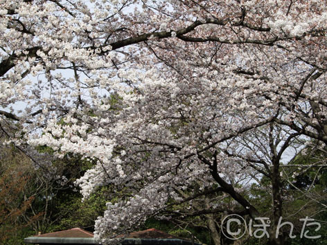2009桜6