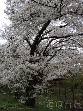 2009桜2