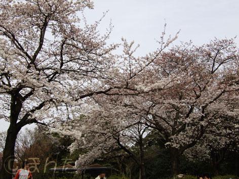 2009桜4