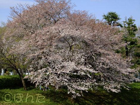 2009桜13