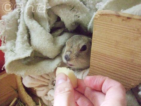 ぴきぴき_りんご2