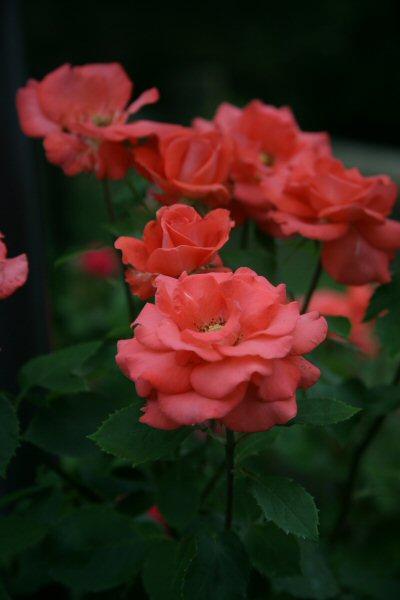 20050626_07_rose.jpg