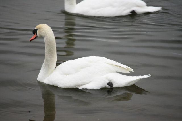 20060104_08_swan.jpg