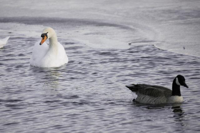 20060205_10_swan.jpg