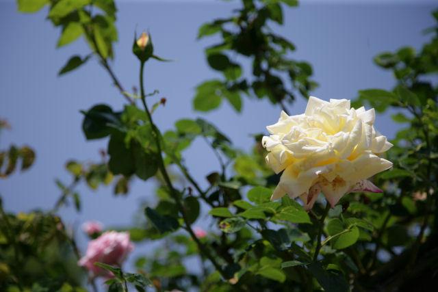 20060521_03_rose.jpg