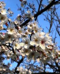 青空の中の桜