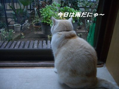 今日は雨だにゃ~!