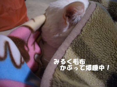 みるく毛布かぶって爆睡中