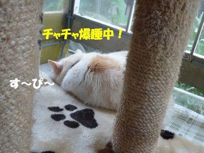 チャチャ爆睡中!