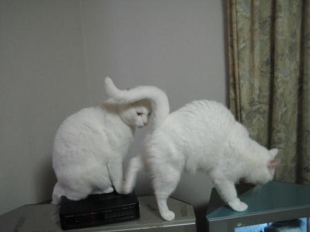 シロ♂&マリー♀