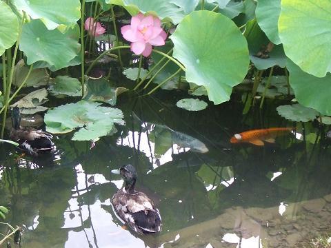 ゴージャスな鯉