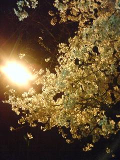 2丁目の桜