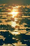 黄金の水田に散居村のシルエット