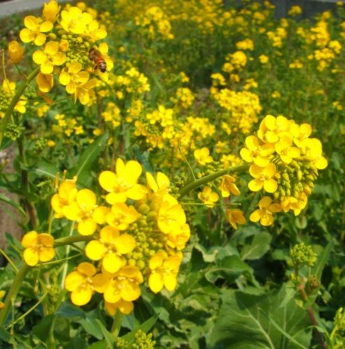 s-菜の花DSCF7094