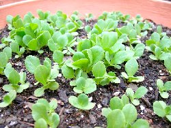 サラダ菜の育て方・栽培方法