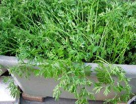 ニンジンの育て方,栽培方法