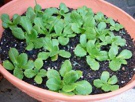 サラダ菜の育て方,栽培方法
